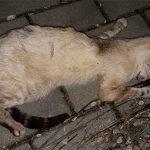 Denuncia: Animales enfermos, moribundos o muertos en Ciudad Real