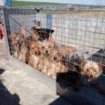 La Bienvenida solicita ayuda ante la llegada de 12 cachorros yorkshire de un criadero ilegal