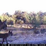 Nacen tres cachorros de lince ibérico en libertad en los Montes de Toledo