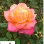 La rosa del jardín