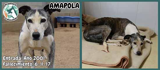 Amapola1