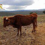 La Justicia autoriza la muerte de todas las vacas abandonadas en Navalpino