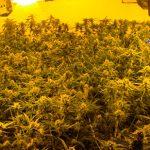 Desarticulada una organización de origen chino dedicada a la producción y venta de marihuana