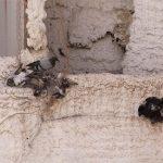 Ciudad Real: La propuesta de Ciudadanos de utilizar halcones para el control de la población de las palomas no levanta el vuelo