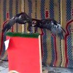 Aves rapaces encadenadas: El Ayuntamiento de Ciudad Real permite que se exploten animales salvajes
