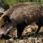La Junta confirma un caso de triquinosis por consumo de carne de jabalí proveniente de una cacería en Fontanosas (Almodóvar del Campo)