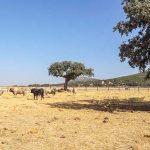 La ADS 'Valle de Alcudia' ve en la tradición taurina nuevas oportunidades para la dinamización turística