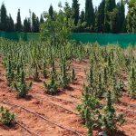 La Guardia Civil ha desarticulado un grupo criminal dedicado al cultivo de marihuana en varias fincas rústicas de Fernán Caballero y alrededores