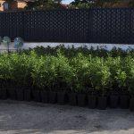 La Policía Nacional desmantela cuatro plantaciones de cannabis en chabolas de Ciudad Real incautando más de 2.000 plantas